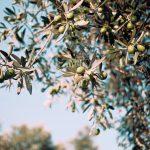 Dünyanın meyve veren en eski ağacı